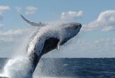 Bluewhalejumping1