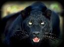 Jaguar_blk